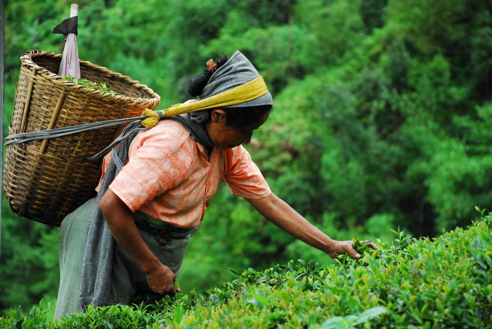 ストライキが起こったインドのダージリン地方で茶摘みをする女性 写真:Maximum Exposure PR/shutter.com