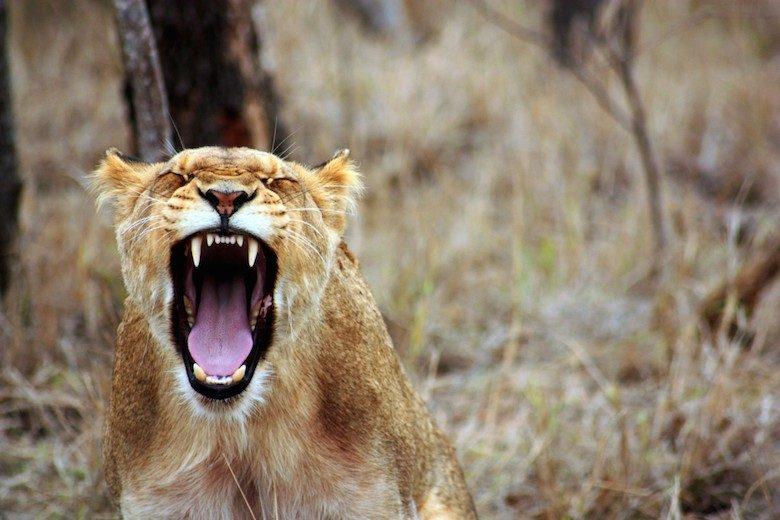 吠える子ライオン (写真:Casino Lobby/flick)